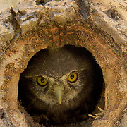 Northern Pygmy Owl (Glaucidium gnoma) Nesting in cavity of tree. One of the smallest owls in North America. An aggressive predator, this owl will sometimes catch birds larger than itself, its favorite target is songbirds. Montana. Summer.