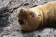 Seal on the beach. Photographed in the Galapagos Island, Ecuador