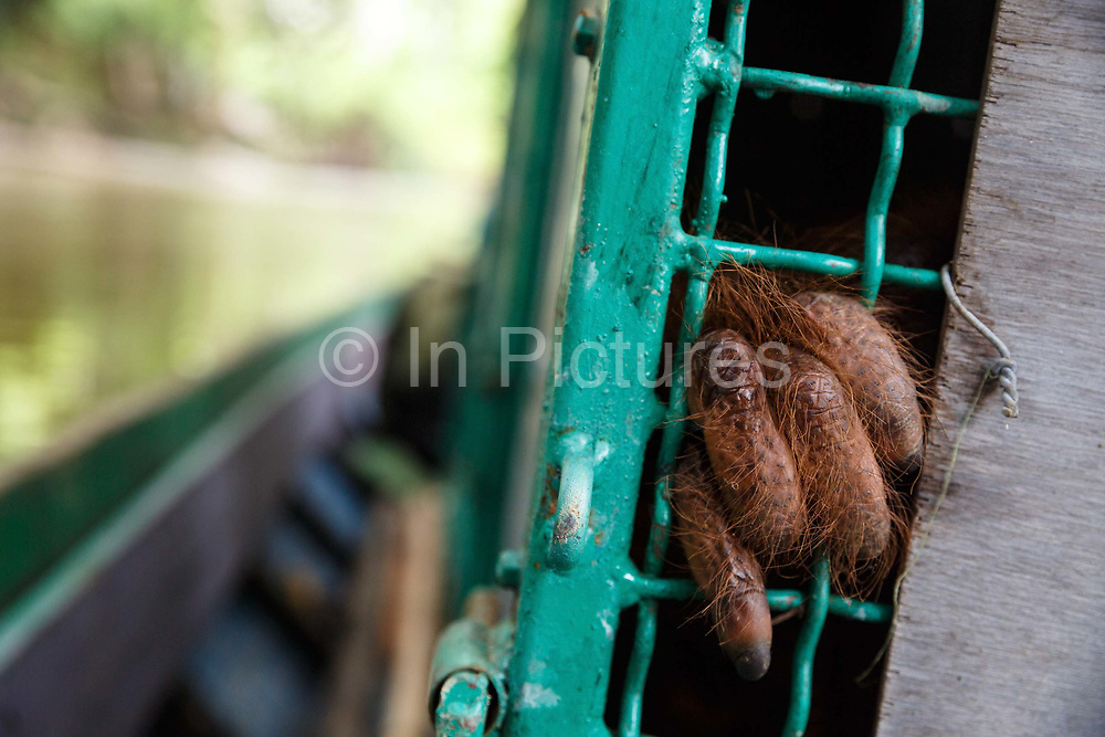 An orang-utan holds the bars of its cage during a five hour boat trip up the River Bemban in Central Kalimantan, Borneo, Indonesia on 23rd May 2017. Kato - a large male - and 5 female orang-utans, are being taken on a 16 hour journey by road and river from Nyaru Menteng Rehabilitation Centre, run by the Borneo Orangutan Survival Foundation, to a release site in Bukit Baka Bukit Raya National Park. Their health is checked by vets every two hours, and they are kept sedated for the whole journey.