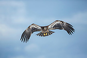 Imature bald eagle in flight