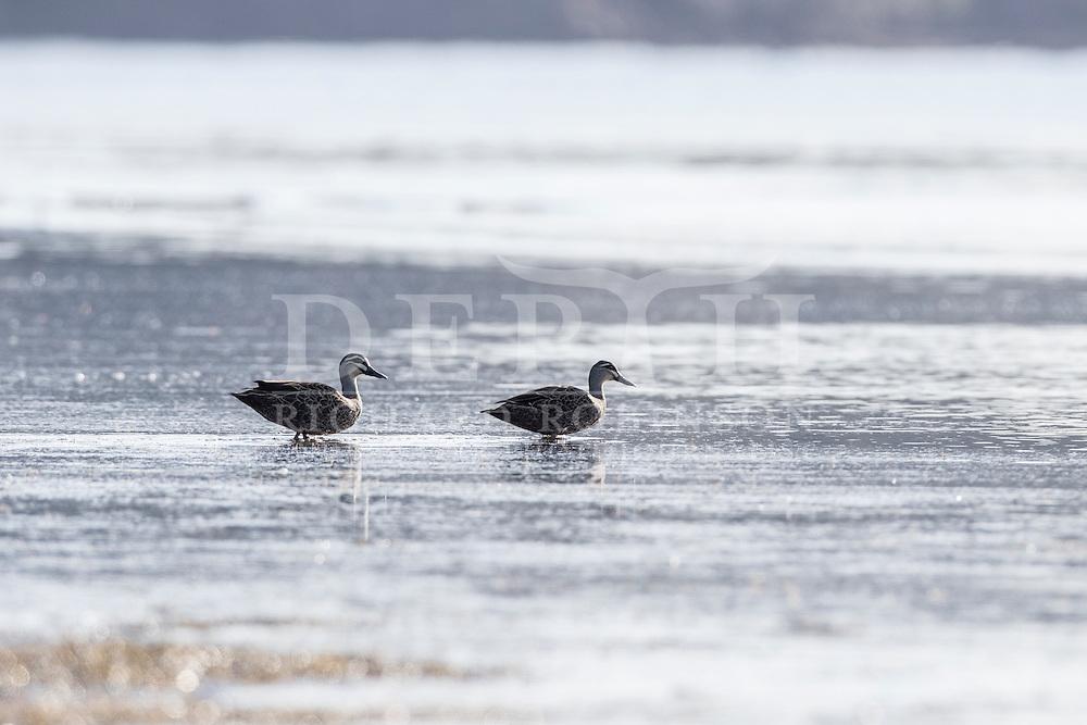 Anas superciliosa (Grey duck) at Snells Beach, Auckland, New Zealand.<br /> Richard Robinson © 2016.