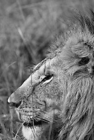 A close up profile of a lone male lion licking his lips in the Masai Mara National Park, Kenya