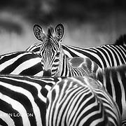 Zebra foal takes refuge in herd