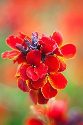 Erysimum cheiri 'Fire King'. Wallflower