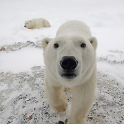 A male polar bear (Ursus maritimus) checks out the camera on Buggy One. Cape Churchill, Manitoba