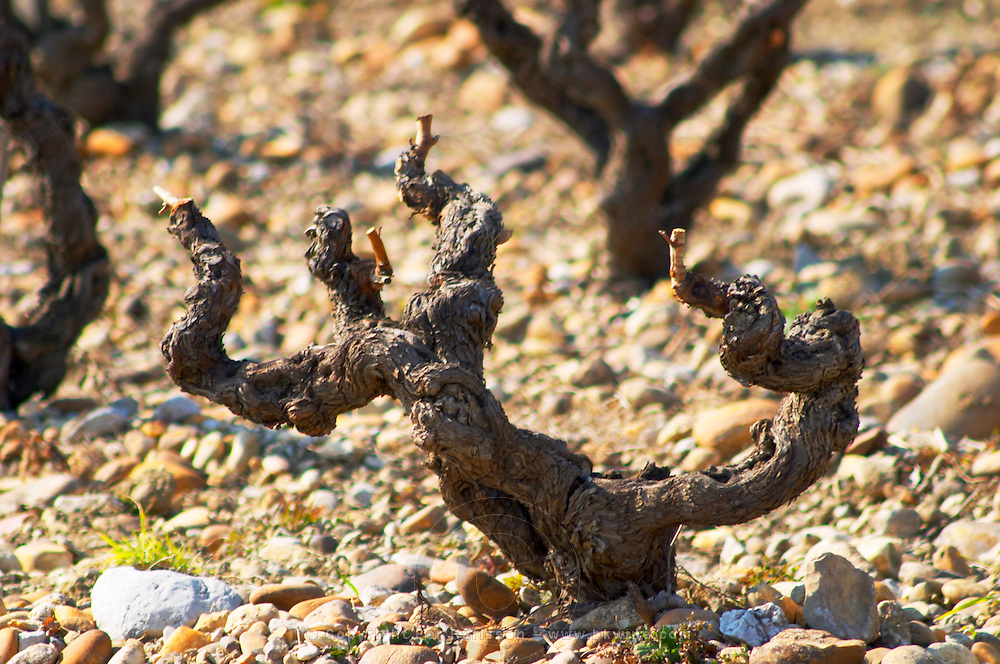 A grenache vine and pebbly galet soil at Domaine Fontavin, Chateauneuf-du-Pape, Vaucluse, Rhone, Provence, France