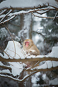 Japanese macaque sitting on covered in snow branch, Japan