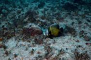 French angelfish-Poisson ange français (Pomacanthus paru), Playa del carmen, Yucatan peninsula, Mexico.