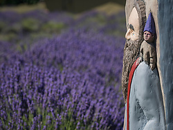 United States, Washington, Fall City, SnoFalls Lavender Farm