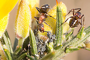 Wood ants tending to aphids on gorse. Arne, Dorset, UK. Wood ants feed on the sugary honeydew secreted by aphids and protect them from predators in return.