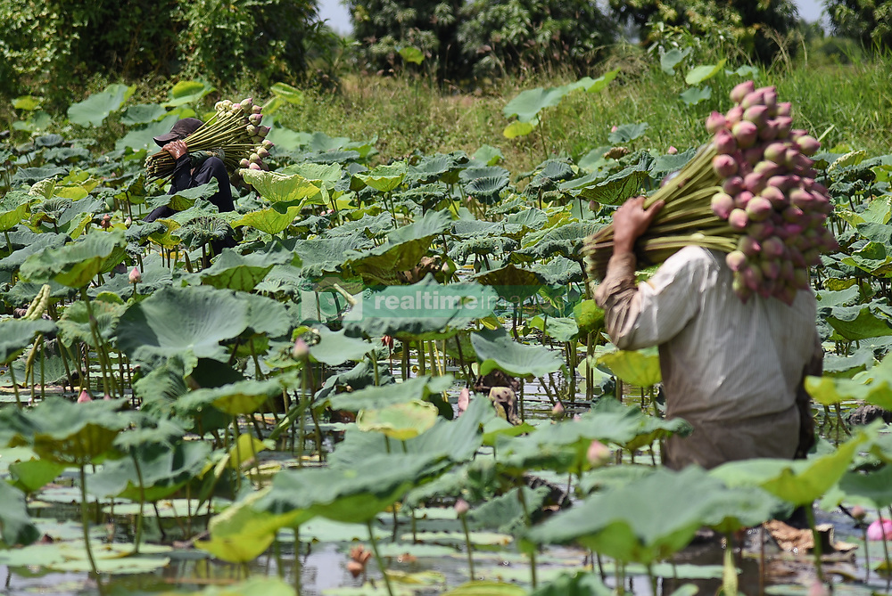 July 6, 2018 - Thailand - Farmers are collecting lotus flowers in the lake in Nonthaburi province. Lotus flower is collected for the Buddhist Lent Day. (Credit Image: © Vichan Poti/Pacific Press via ZUMA Wire)
