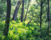 """Sunlit Ferns<br /> <br /> Available sizes:<br /> 11"""" x 14"""" print <br /> <br /> See Pricing page for details. <br /> <br /> Please contact me for custom sizes and print options including canvas wraps, metal prints, assorted paper options, etc. <br /> <br /> I enjoy working with buyers to help them with all their home and commercial wall art needs."""