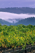 Fog and storm clouds over vineyards between St. Helena & Calistoga, Napa County, California