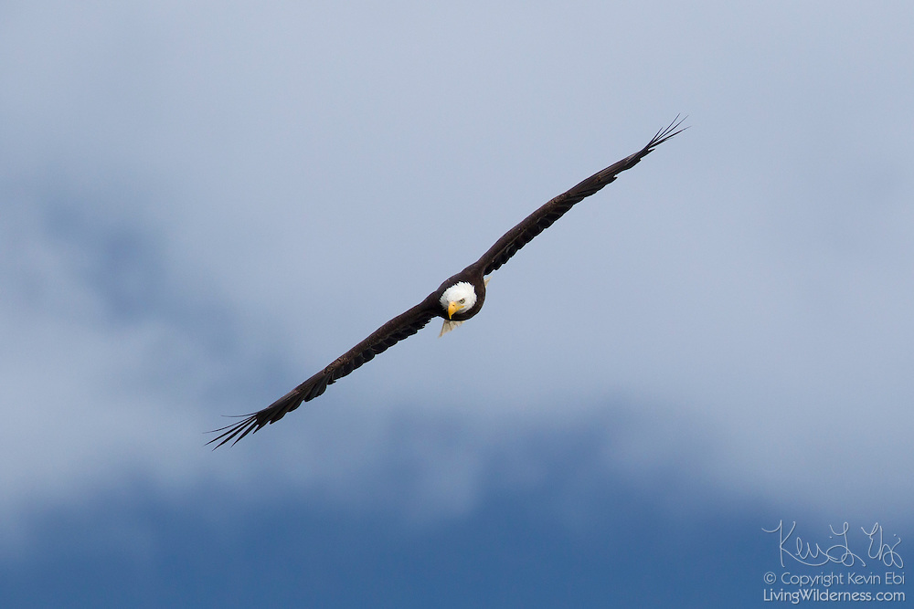 A bald eagle (Haliaeetus leucocephalus) soars over Hood Canal near Seabeck, Washington, in search of food. Hundreds of bald eagles congregate in the area early each summer to feast on migrating midshipman fish that get trapped in oyster beds during low tides.