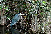 A Great Blue Heron (Ardea herodias) wades in the shallows of Shark Valley in Everglades National Park, Florida.