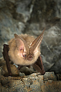 A townsend's big-eared bat (Corynorhinus townsendii) in the abandoned Gold Stake Mine. As cool Fall weather turns more frigid, the bat will go into hibenation. Coleville National Forest, Washington.