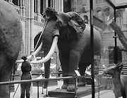 Cleaning Elephants, Natural History Museum, London, 1931