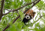 A red panda peers through lofty tree branches at the Red River Zoo in Fargo, ND on June 12, 2018.