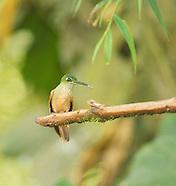 Fawn-breasted Brilliant Hummingbird, Heliodoxa rubinoides