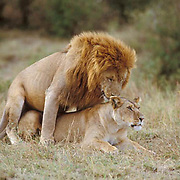 African Lion, (Panthera leo) Portrait of male and female mating. Masai Mara Game Reserve. Kenya. Africa.