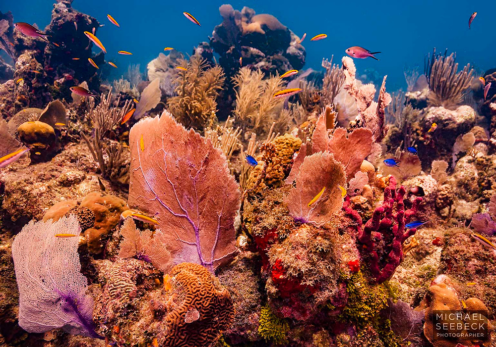 A view of healthy corals on a Caribbean coral reef off the coast of Honduras.