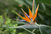 Bird of Paradise, Kula Botanical Gardens, Maui, Hawaii<br />