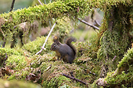 A Douglas Squirrel (Tamiasciurus douglasii) crouches in a bed of moss while giving out a series of alarm calls.  Photographed at Municipal Nature Park in Langley, British Columbia, Canada.