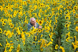 © Licensed to London News Pictures. 15/09/2014. Shenton, Leicestershire, UK. A huge field of sunflowers in Shenton, Leicestershire flourish after the warm unseasonal weather leaves them bursting with life. The sunflowers will be left to dry then harvested as Autumn draws near. Pictured, Colin Garner (78) who has never seen the sunflowers flower so late. Photo credit : Dave Warren/LNP