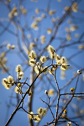 Catkins of Great Sallow, Goat willow, Pussy willow. Salix caprea