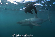 great white shark, Carcharodon carcharias, circles the floating carcass of a fur seal pup, near Dyer Island, off Gansbaai, South Africa ( Indian Ocean )