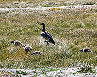Upland Goose (Chloephaga picta). Image taken with a Leica T camera and 18-56 mm lens.