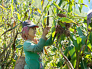 Harvesting millet in the ethnic Kayah village of Pon Chaung village, Kayah State, Myanmar on 22nd November 2016