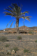 Date palm tree against deep blue sky in semi-desert near Pajara, Fuerteventura, Canary Islands, Spain
