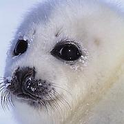 Harp Seal (Papophilus groenlandicus) Portait of pup.Nova Scotia. Canada.