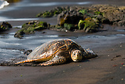 A green sea turtle sits on the black sand at Punaluu Beach on the Big Island of Hawaii.