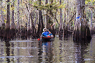 A conoeist paddles through flooded cypress forest on Fisheating Creek in Florida's Fisheating Creek Wildlife Management Area. WATERMARKS WILL NOT APPEAR ON PRINTS OR LICENSED IMAGES.