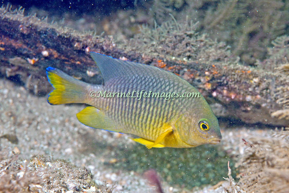 Cocoa Damselfish inhabit reefs, especially fore reefs with living coral, in Tropical West Atlantic; picture taken Blue Heron Bridge, Palm Beach, FL.