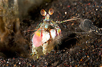 "A ""smashing"" mantis shrimp peers from its lair in the sea floor."