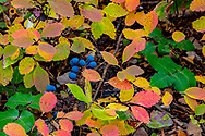 Oregon Grape in autumn ground cover in the Lewis and Clark National Forest, Montana, USA