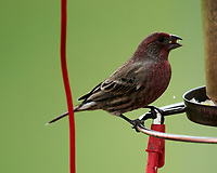 House Finch. Image taken with a Nikon D850 camera and 600 mm f/4 VR lens.