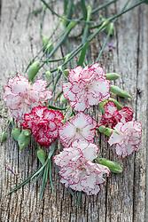 Dianthus caryophyllus 'Benigna White Striped' - Carnation