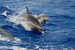 Pantropical Spotted Dolphin, mother and calf, jumping out of boat wake, Stenella attenuata, wake-riding, off Kona Coast, Big Island, Hawaii, Pacific Ocean