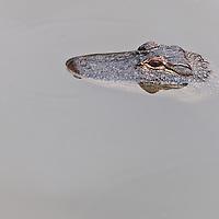 American Alligator (Alligator mississippiensis), in Gatorland, Orlando, Florida. Photo by William Drumm, 2013.