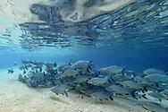 Ein Schwarm von Curimbatas (Prochilodus lineatus) in einem klaren Karstfluß, Bonito, Brasilien<br /> <br /> A swarm of curimbatas (Prochilodus lineatus) in a clear karst river, Bonito, Brazil