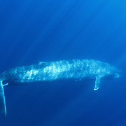Blue whale (Balaenoptera musculus) swimming beneath the surface of the ocean. Indian Ocean, off Sri Lanka.