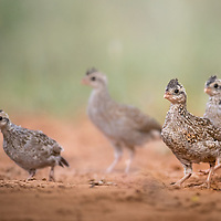 Colinus virginianus, juveniles, South Texas