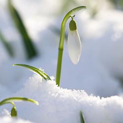Galanthus 'Atkinsii'  poking up through a carpet of snow. Snowdrop