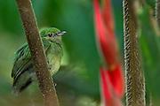 Blue-crowned Manakin (Lepidothrix coronata) Female<br /> Yasuni National Park, Amazon Rainforest<br /> ECUADOR. South America<br /> HABITAT & RANGE: Subtropical or tropical moist lowland forests of Bolivia, Brazil, Colombia, Costa Rica, Ecuador, Panama, Peru, and Venezuela.
