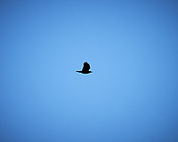 Turkey Vulture soaring. Image taken with a Nikon D4 camera and 80-400 mm VR lens (ISO 200, 400 mm, f/6.3, 1/2000 sec)