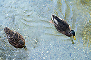 male and female Mallard ducks swimming in very clear water